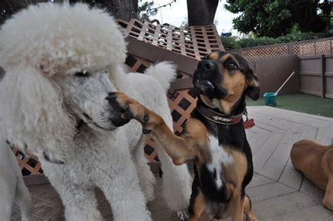 the bone adventure backyard the bone backyard big dog gallery dog boarding orange
