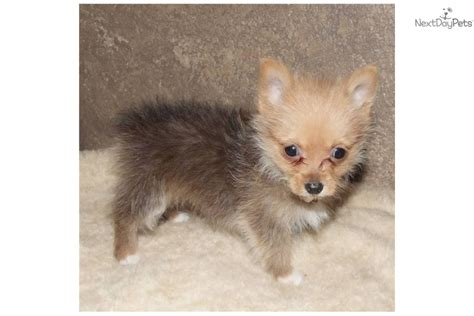 teacup yorkie pomeranian mix for sale pomeranian puppy for sale near texoma 05689884 aab1