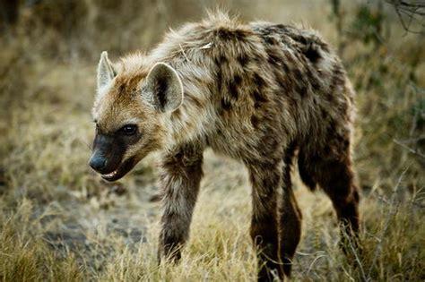 hyenas eat   wild hyenas diet