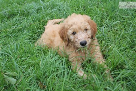 mini goldendoodles oklahoma goldendoodle puppy for sale near tulsa oklahoma
