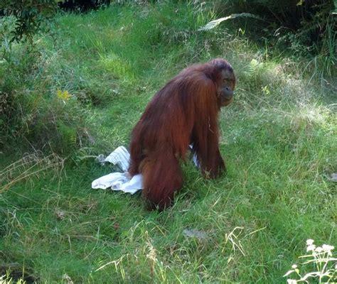 Zoologischer Garten Arzt by Www Zoo Wuppertal Net Orang Utan Cheemo Operation