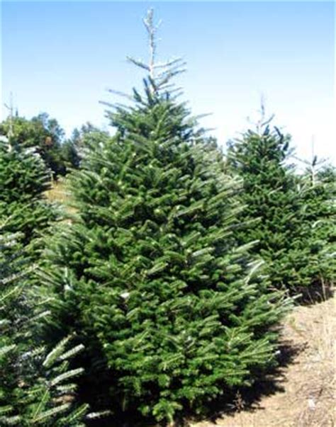 image gallery korean fir
