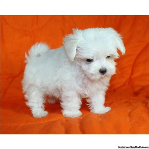 maltese puppies for sale in florida miniature maltese puppies for sale the universe of animals