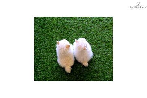 pomeranian puppies for sale in bakersfield ca pomeranian in hesperia california breeds picture