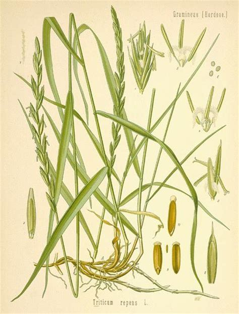 indian couch grass a modern herbal grasses