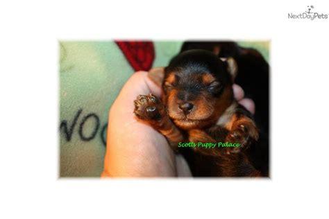 newborn teacup yorkie puppies teacup yorkie dogs all about teacup yorkie dogs health design bild