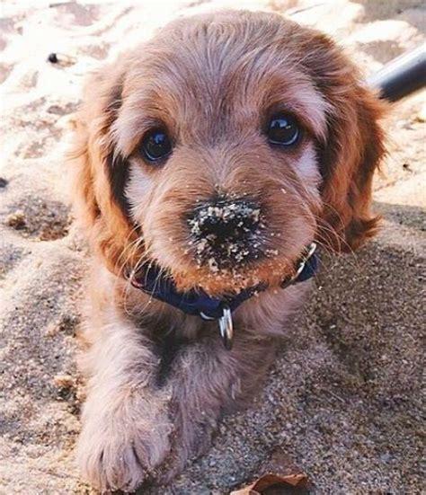 puppies ideas  pinterest cute puppies dogs
