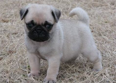 pug for adoption uk pug puppies for adoption pets for sale in the uk