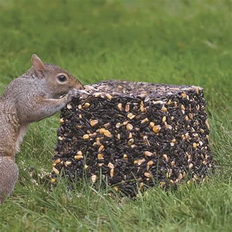 what to feed squirrels in backyard what to feed squirrels in backyard 28 images how to