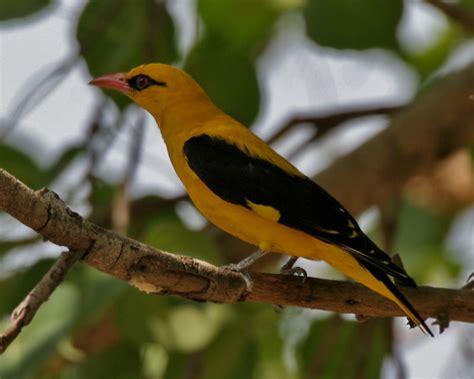 golden retriever indian names beautiful indian golden oriole bird pics background hd wallpapers