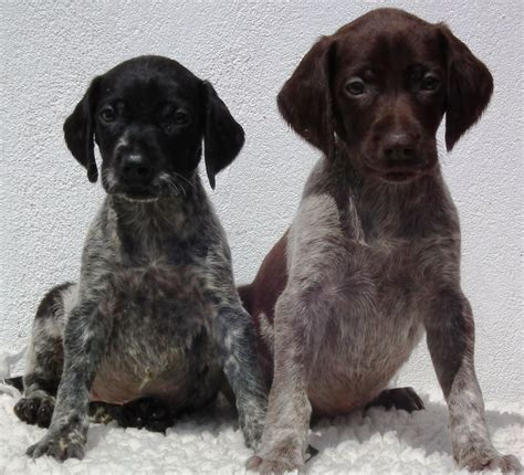 black german shorthaired pointer puppies black german shorthaired pointer puppies picture breeders guide