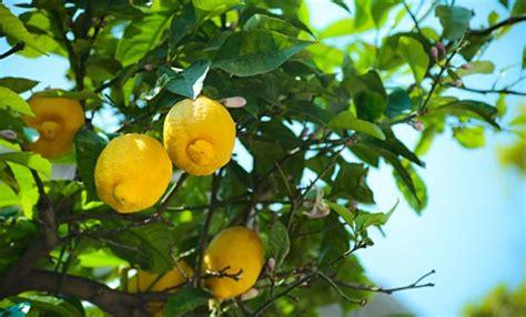 malattie piante limoni in vaso limoni in vaso come curarli tutti i segreti per una