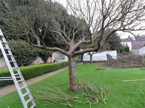 pruning overgrown fruit trees worcester college gardeners february 2011