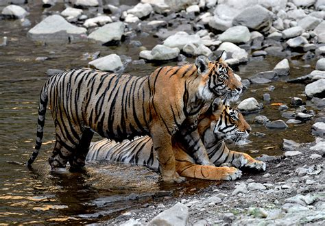 a nature companion wildlife through the year books ranthambhore the real jungle book craig jones