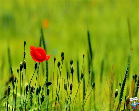 ci di fiori immagini foto papaveri foto in alta definizione hd