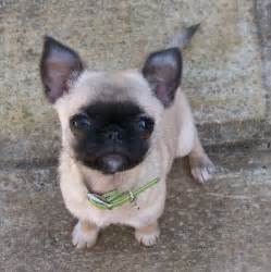 pugs and chihuahuas pug and chihuahua chug pug mixed breeds