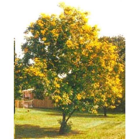 bells trees buy yellow trumpet bells rarexoticseeds
