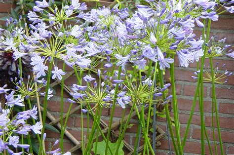 plantfiles pictures lily of the nile african lily agapanthus africanus by henkmaters