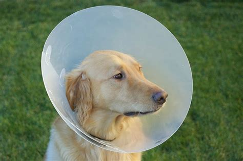 golden retriever problems common health issues of golden retrievers cuteness