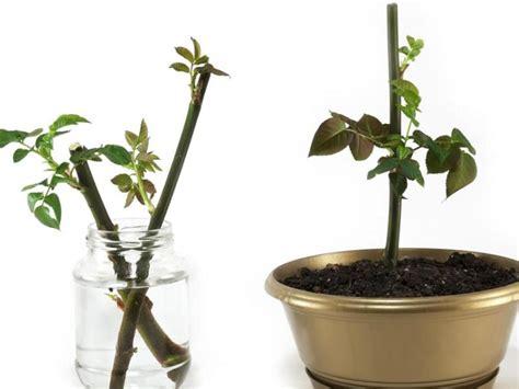 perhatikan  langkah penting  menanam mawar