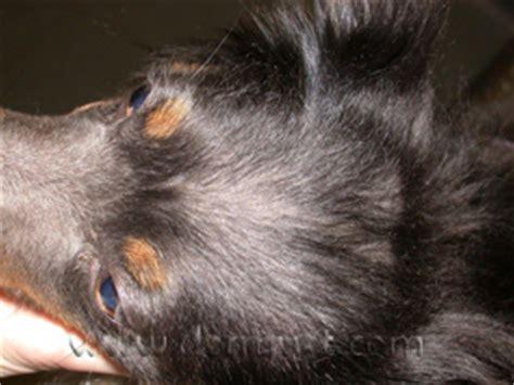 color dilution alopecia color dilution alopecia in wa dermatology clinic