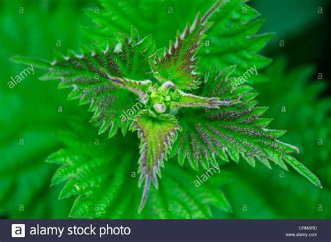 nettle images nettle stock photos nettle stock images alamy