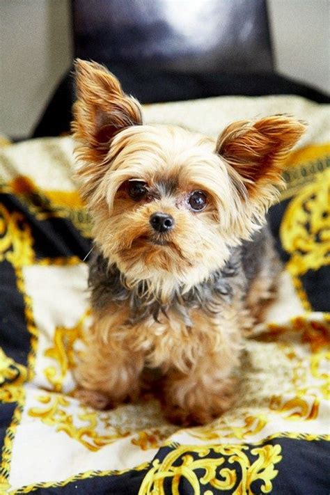 top yorkie names 1000 images about yorkie my new on miniature yorkie and best breeds