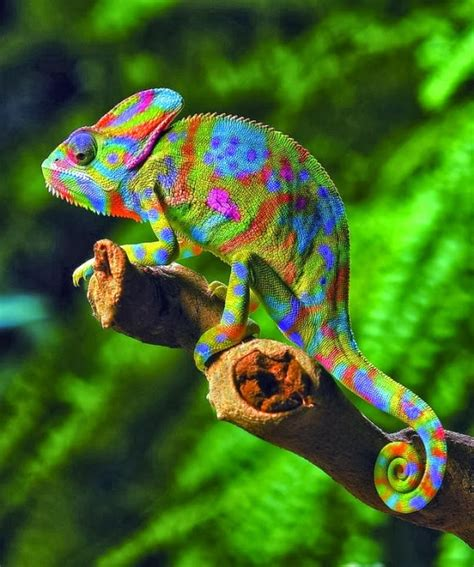 why do chameleons change color why do chameleons change their color 171 24 hours of culture
