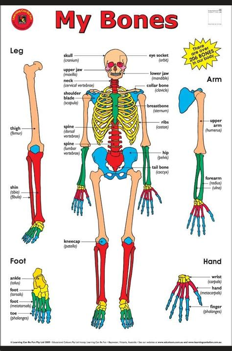 pictures of diagrams pictures of the human skeleton for diagrams for all