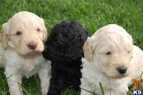 cockapoo puppies for sale in michigan pin cockapoo puppies for sale in michigan on