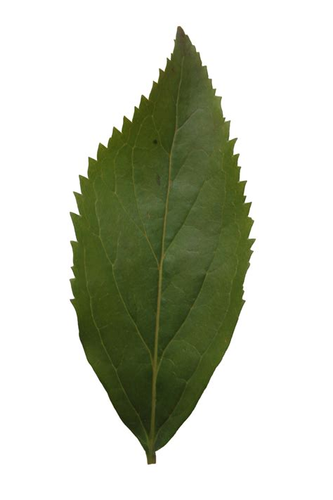 high resolution maple leaf deviantart tree leaves texture png theleaf co