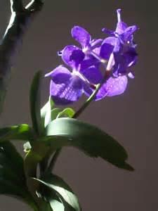 vanda orchids vanda