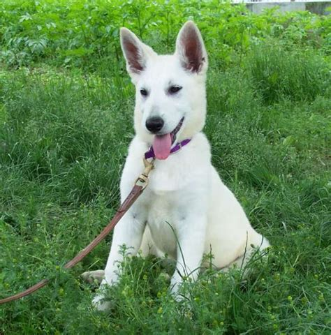 all white german shepherd puppies all white german shepherd puppies for sale dogs our friends photo