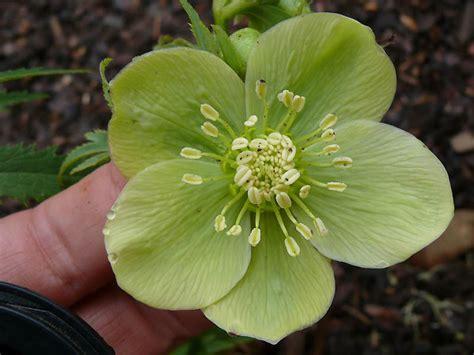 green flowered hellebores dirt simple