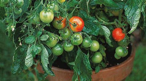 b q fruit plants how to grow tomato plants help ideas diy at b q