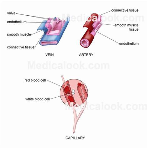 blood vessels diagram blood vessels human anatomy organs
