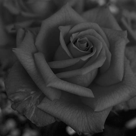 wallpaper grey roses just wallpaper inside grey roses wallpapers