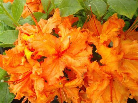 orange flower shrub flowers planets orange azalea flowers