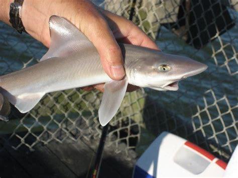 baby shark attack baby shark caught in ocean city md shark love