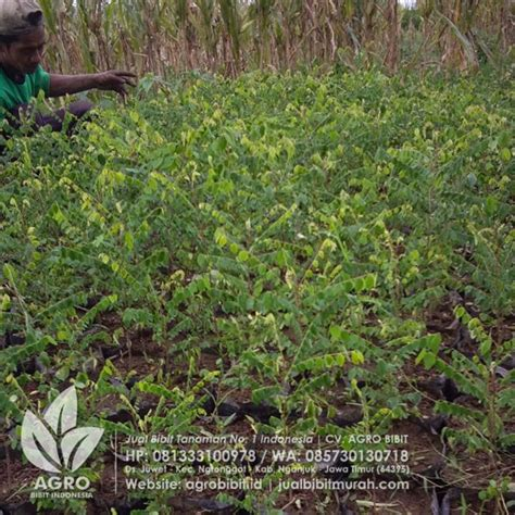 Jual Biji Cengkeh Untuk Bibit Jual Bibit Buah Belimbing Biji Untuk Okulasi Agro Bibit Id