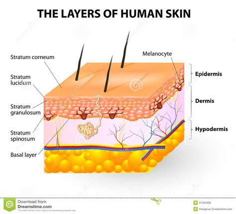 the diagram the human skin diagram anatomy chart