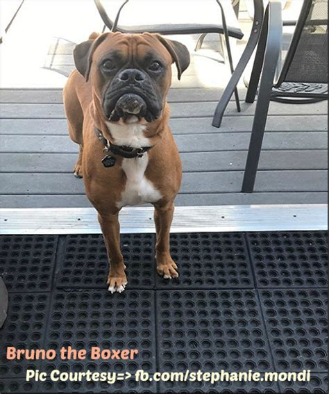 how much should a puppy eat a day how much food should a boxer eat boxer info and