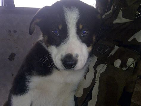 border collie puppies for adoption border collie puppies and dogs for sale and adoption design bild