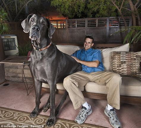 largest couch in the world is giant george the world s tallest dog the 7ft long