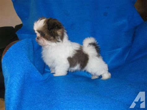 tiny shih tzu puppies akc registered shih tzu puppies breeds picture
