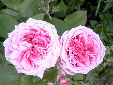 stark duftende sortenvorschl 228 ge f 252 r neues rosenbeet gesucht seite 1