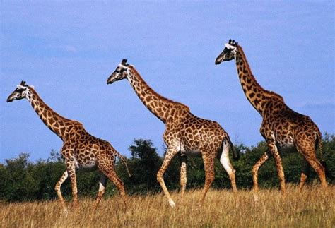 imagenes de jirafas apareandose 6 curiosidades sobre las jirafas taringa