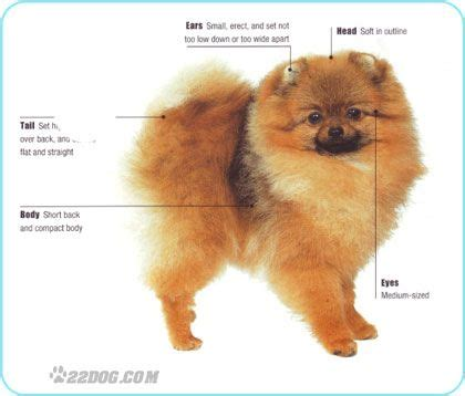 what colors do pomeranians come in 128 best images about precious poms on