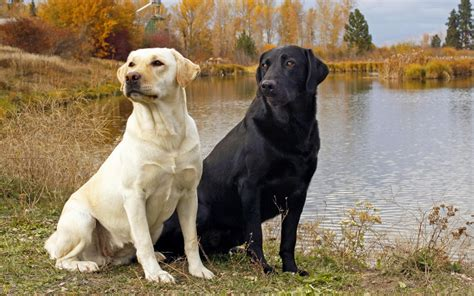 images of labrador puppies labrador retriever breeders profiles and pictures