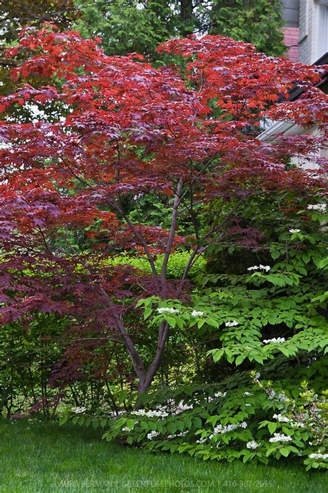 bloodgood japanese maple acer palmatum bloodgood wooden arbor pergola garden at meadow